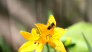 Stock Video Footage of Bee on Yellow Star-of-Bethlehem (Gágea lútea).