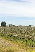 Uruguayan wine grapevines Stock Photos