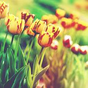 Grungy floral backgrounds. beauty tulip on the meadow, lomo style artwork Stock Photos