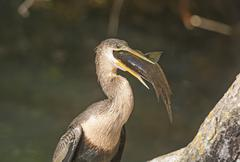 Female anhinga eating a fish Stock Photos