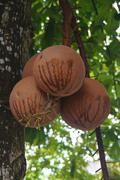 Couroupita guianensis or cannonball Stock Photos