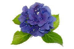 Lacecap Hydrangea - stock photo