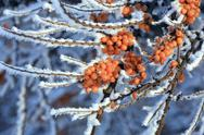 Stock Photo of The branches of sea-buckthorn