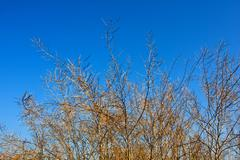 Leafless bush branches on blue ska background Stock Photos