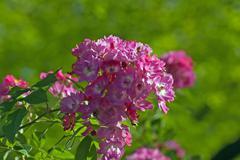hybrid musk roses - stock photo