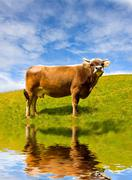 Cow on pasture - stock photo