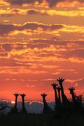 Giraffe Silhouette of Red - Wildlife Background from Africa - Nature and Beauty Kuvituskuvat