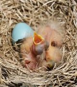 close-up of just hatched robin chicks - stock photo