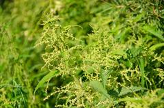 Flowers of the Stinging nettle Stock Photos