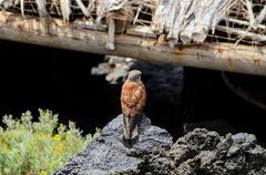 captive kestrel - stock photo