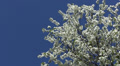 Beautiful tree blossoming  white color against  blue sky Footage