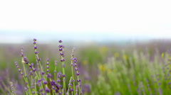 Lavender flower field. Stock Footage