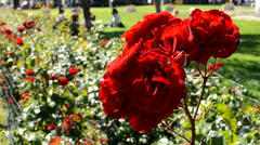 garden with red roses - people sit on the grass in background - stock footage