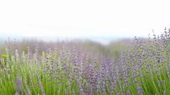 Lavender flower field. Stock Footage