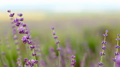 Lavender flower field. - stock footage