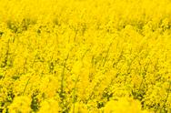 Stock Photo of yellow rapeseed field