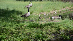 Canadian Geese with goslings at pond. - stock footage
