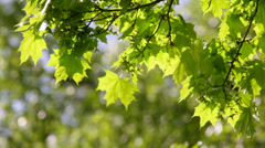 A sunlit maple branch with new green leaves and young ash keys Stock Footage