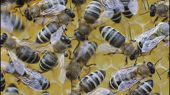 Bees build honeycombs - stock footage