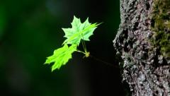 A sunlit maple sprout with new green leaves on tree trunk Stock Footage