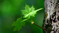 A maple sprout with new green leaves on tree trunk Stock Footage