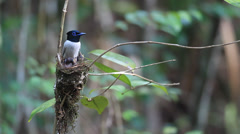 Male Asian Paradise Flycatcher (White morph.) - stock footage