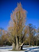 Bare salix tree in winter Stock Photos