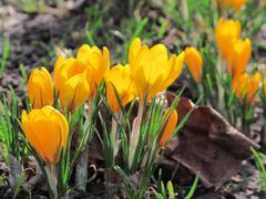Yellow crocus, spring scene Stock Photos