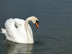 Beautiful swan, Cygnus olor Stock Photos