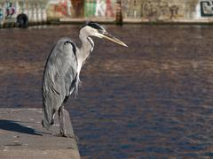 Grey Heron, Ardea cinerea in Harbor Stock Photos