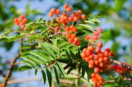 Stock Photo of Rowan fruits, Sorbus aucuparia