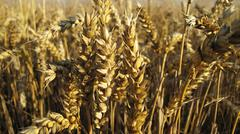 Detail of wheat Stock Photos
