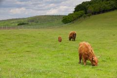 The herd of aberdeen angus on spring meadow Stock Photos