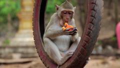 Monkey sitting inside the wheel and eats fruit Stock Footage