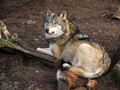 Gray Wolf, Canis lupus Kuvituskuvat