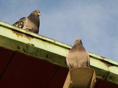 Street pigeon, rock dove - stock photo