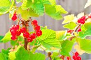 Stock Photo of Redcurrants