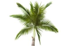 Palm tree isolated on white background Stock Photos