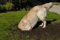 Golden Retriever dog digging  Stock Photos