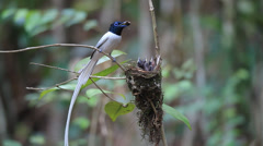 Asian Paradise Flycatcher (White morph.) - stock footage