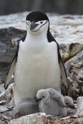 Female and two chicks antarctic penguin in the nest Stock Photos
