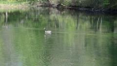 Canadian Geese at pond - stock footage
