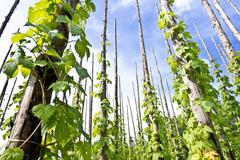 Traditional hop garden Stock Photos