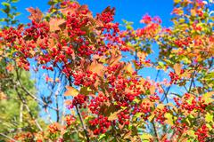 red berries of viburnum on branches on blue sky - stock photo
