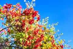 ripe red viburnum on branch on sky - stock photo