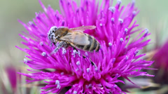 Close up shot of a bee collecting nectar Stock Footage