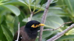 Singing Common Myna. Stock Footage