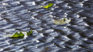 Stock Video Footage of Wavelets on a lake with water lily leaves