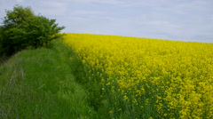 Big field with blossoming oilseed rape. - stock footage