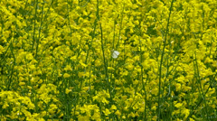 Closeup color of oilseed rape. Insects suck nectar. - stock footage